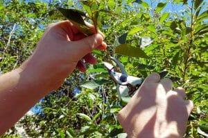 man-hands-tree-pruning-austin